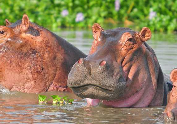 Hippopotami in Murchison - Best all-inclusive 7-day Uganda safari with gorilla trek, chimp tracking, primate wildlife tour Uganda. Track rhinos, BIG-5 wildlife, gorilla tour in Uganda. Hippos, Murchison Falls - Best of Uganda Tour, 7 days most popular Uganda tour Gorillas and Wildlife Safaris