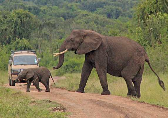 Elephant and calf crossing the road, Queen Elizabeth National Park, Uganda
