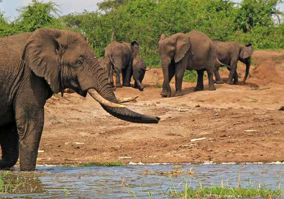 Elephant herd at Kazinga Channel, Queen Elizabeth National Park, Uganda
