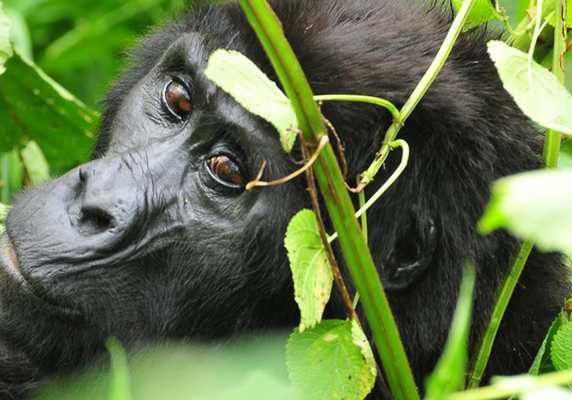 Gorilla from Rushegura family, Uganda