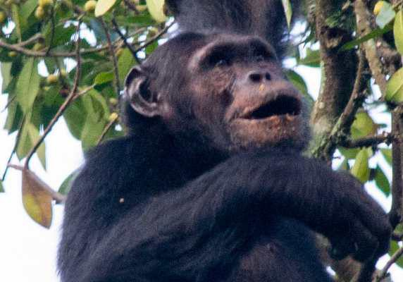 Chimp hanging in tree, Rwanda