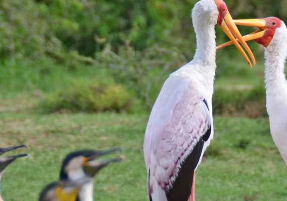 Yellow-billed storks, Uganda